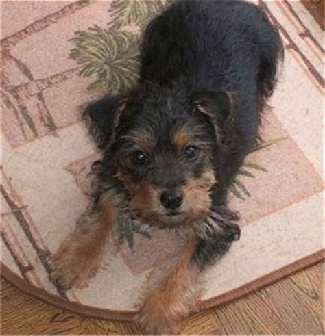 yorkies mixed with other breeds yorkie breed information and pictures
