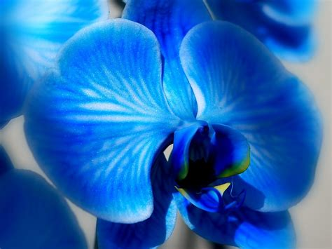 blue orchid blue orchid nikonites gallery
