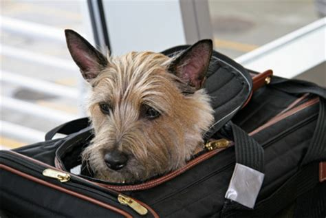 in cabin pet travel airlines that allow pets in cabin