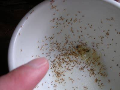 tiny ants in house image gallery kill tiny black ants