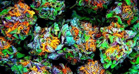 fruit loops strain strain of the day fruit loops marijuana world news