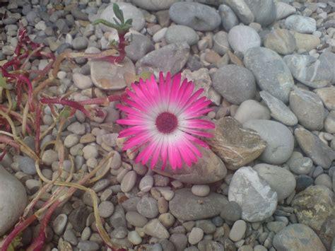 Pflanzen Für Kiesgärten by Ein Kiesgarten Ist Eine Pflegeleichte Form Der