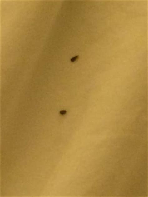 bed bugs in florida bed bugs picture of palm beach gardens florida