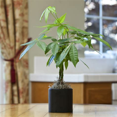 large braided money tree indoor office plants by small braided money tree in 5 in round tapered ceramic
