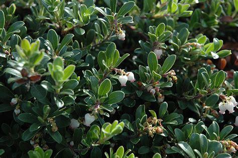 massachusetts bearberry arctostaphylos uva ursi