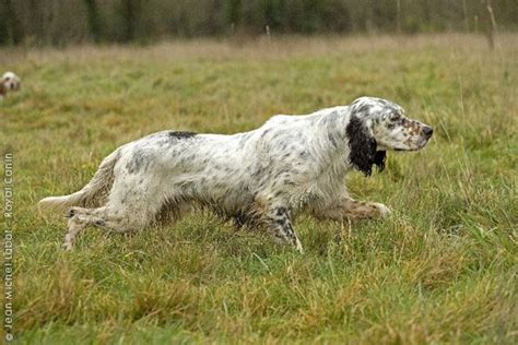 windfall farm english setters hunting dog breeders 48 best images about english setter on pinterest