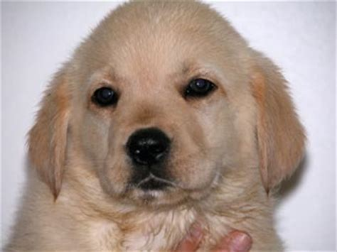 golden retriever x labrador labrador x golden retriever breeders photo