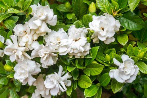 raise gardenias  pots plants lantana plant