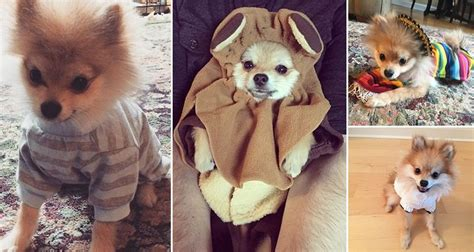 pomeranian clothes meet pom pom chewy the loving pomeranian who just adores dressing up