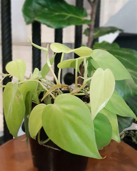 neon pothos  images indoor plants plant leaves