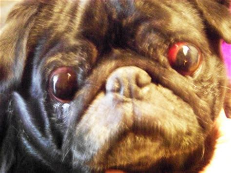 do pugs pop out of their what breed of is the hungriest you seen macrumors forums