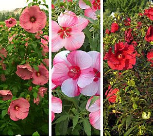 cottage farms hibiscus cottage farms perennial hibiscus trio qvc