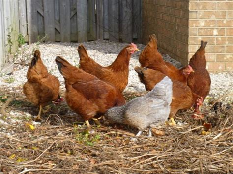 backyard chickens vancouver i need y all to post pic of your chickens page 12