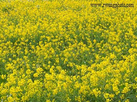 picture mustard flower field point reyes national