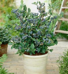 top hat blueberry patio kit 1000 images about our tiny home garden orchard on fast growing trees how to grow