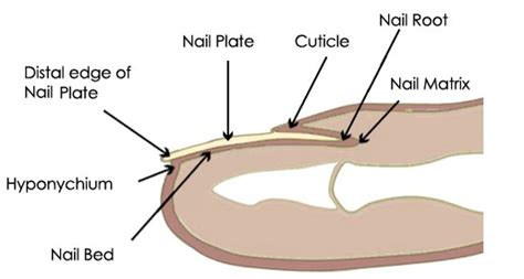 nail bed definition nail plate appearance function and pictures