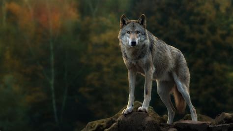 hd wallpapers 1920x1080 wolf gray wolf full hd wallpaper and background 1920x1080