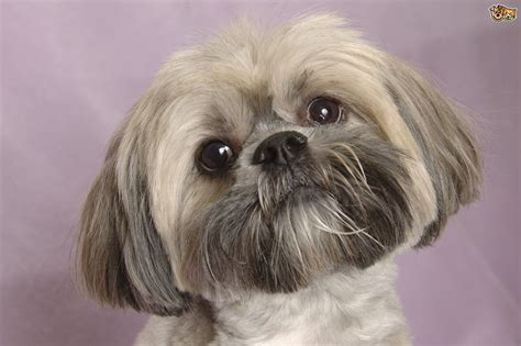 dogs with beards 10 breeds that boast moustaches beards pets4homes