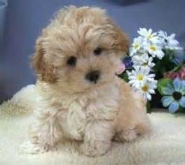 shoodle hair guide cute fluffy cockapoo puppy puppies pinterest puppys