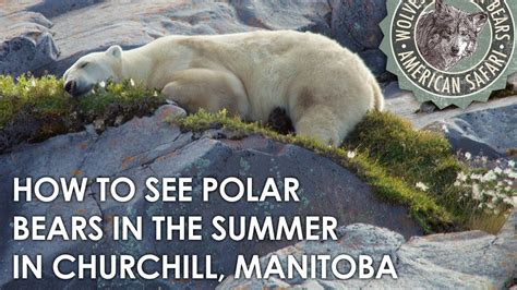 how to see polar bears in the summer in churchill manitoba