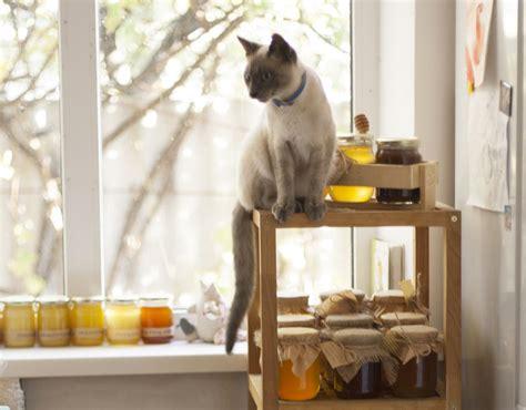 gatto siamese alimentazione il cibo migliore per il gatto siamese cose di gatti
