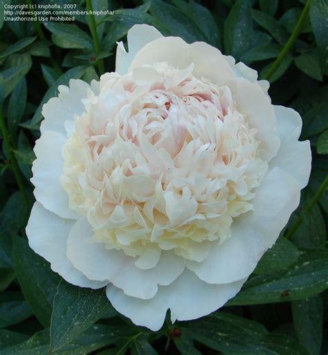 Maxiinner Peony plantfiles pictures heirloom peony garden peony festiva maxima paeonia lactiflora by kniphofia