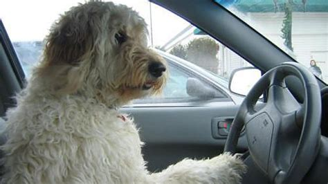 driving dogs driving dogs will help beat blue monday trusted car buyers