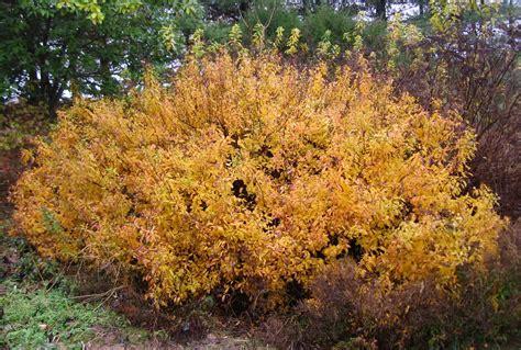 color pic spirea latifolia lat fall color pic mon jardin indig 232 ne