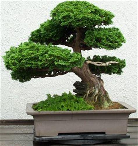 tipi di bonsai da interno how to choose a bonsai tree