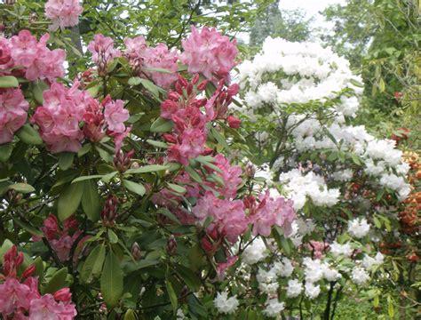 rhododendron garten springs rhododendron garden steve snedeker s