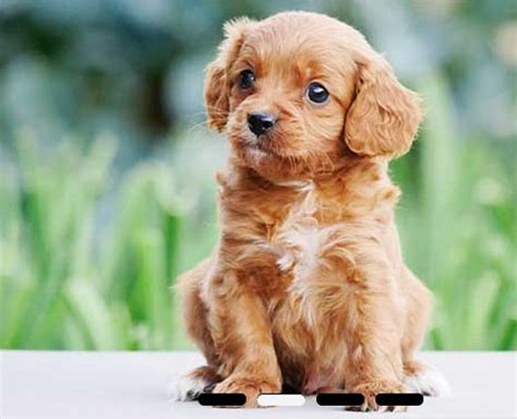 keystone puppies review miniature poodle puppies for sale