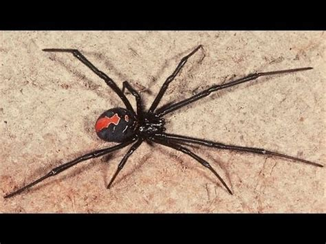 could spider venom be the next viagra daily mail online australia s most venomous spider removed from my house