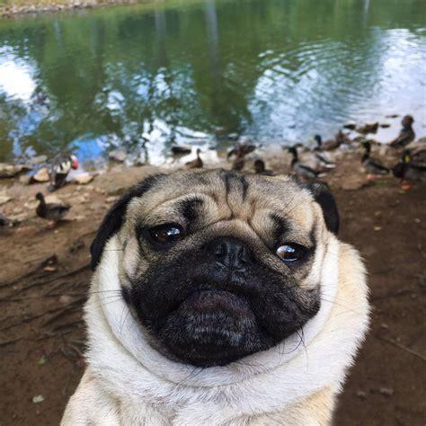 doug the pug website doug the pug pictures 37 meowlogy