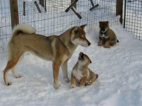 shikoku puppies shikoku with akashima kennel