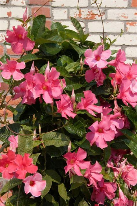 mandevilla vine  blooming thriftyfun