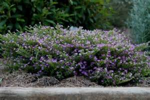Flowers Growing In Water - buy cuphea plants mauve tubes or 90mm pots