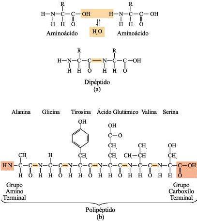 proteinas y aminoacidos fisicanet amino 225 cidos y prote 237 nas ap12 biolog 237 a