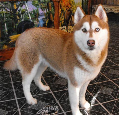 brown and white husky puppy aruff ranch aruff siberian husky breeder siberian husky siberian husky puppy puppies