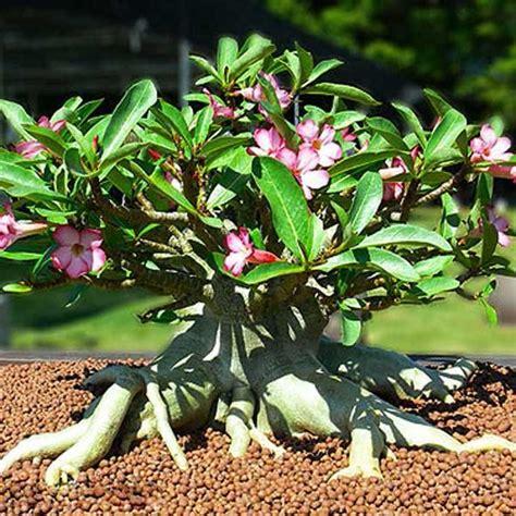 cara membuat bonsai adenium tanamanbonsai