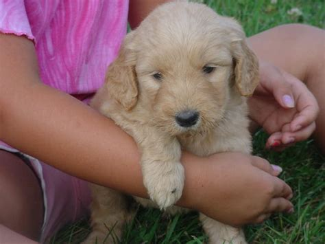 goldendoodle puppy for sale virginia goldendoodle puppies blacksburg va www proteckmachinery