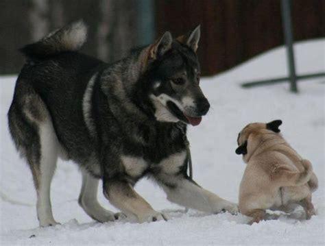 husky x pug pug husky puggies