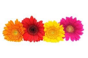 daisy clipart gerbera daisy pencil and in color daisy