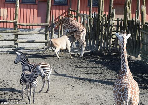 rem schlaf giraffe gored to by antelope at zoo after