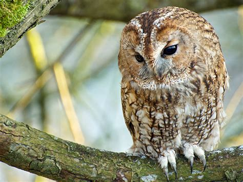 best 28 how do owls find food why owls have flat