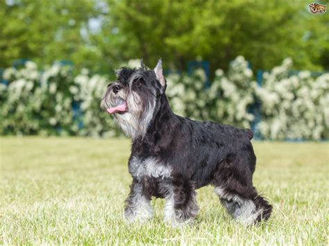 Some more information on the Miniature Schnauzer   Pets4Homes