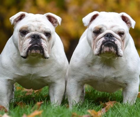 2nd family dogs some important things to consider before adding a second to your family