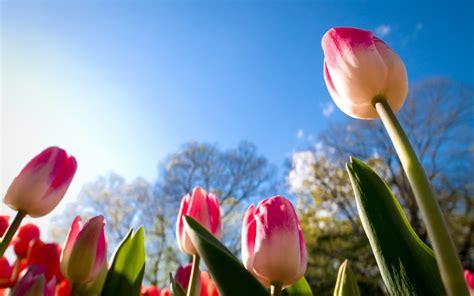 Gamis Teddybear Hawa wallpaper tulips day summer 4k flowers 5959