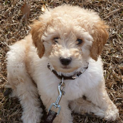 mini labradoodles va mini australian labradoodles from mountain creek labradoodles