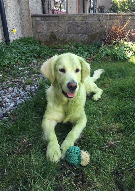 golden retriever cut pictures june 26 2016