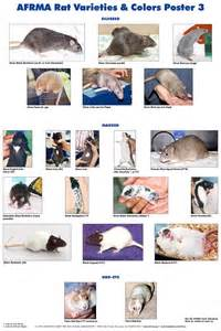 rat color chart 17 best images about pet fancy rats aka teeny tiny